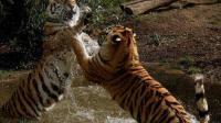 老虎战力到底有多强? 东北虎VS科莫多巨蜥, 谁更强? 一掌拍死巨蜥