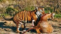 """我国特有的""""中国虎"""" 野外已灭绝 拯救后还能在山上见到吗?"""
