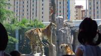 2015年9月10日上海野生动物园生存技能训练场老虎扑食表演