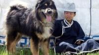 世界上最尽责的狗, 能追踪猎物几十公里, 死后会被土葬!