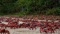 上亿只螃蟹同时出动 太壮观了 人们为了它们修建了专用通道