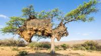 世界上最大的鸟巢: 重达1吨能住500只鸟!