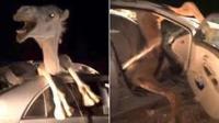 印度一骆驼车祸被困在车内 挣扎4小时终获救