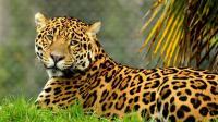 美洲狮、美洲豹和美洲虎, 美洲三子有区别吗? 网友: 傻傻分不清