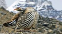 世界上分布最高的鸡 生活在海拔6000米的高山 营养丰富药用价值高