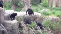 黑猩猩组队欺负浣熊, 搞得场面很尴尬