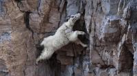 世界上最奇葩山羊, 一辈子生活在峭壁上, 牛顿看了被气哭!