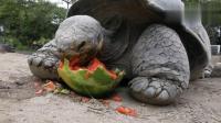 大乌龟吃西瓜, 整个西瓜都让一只乌龟给吃了, 看样子吃一个还不够