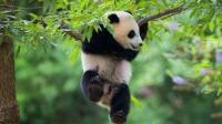 抱一抱就好 火遍全网的大熊猫