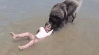 狗狗怕主人孙女被浪冲走 将小女孩叼到岸边