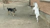 狗子, 别逞强了, 山羊站起来的瞬间你在气势上已经输了!