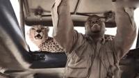 跪了! 坦桑尼亚猎豹跳上观光车 游客淡定玩自拍