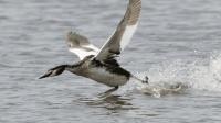 世界上最魔性的鸟, 求偶时动作一致, 成功后还会表演水上漂!