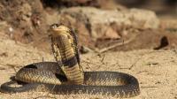"""世上最致命眼镜蛇 """"埃及艳后""""曾命丧于它 被称为""""神圣的毒蛇"""""""