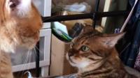 好好的猫咪打架, 为什么你会发出猪叫?