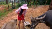 农村全家外出打工, 只留下表妹一人在家养牛, 生活过得很孤单