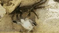 小海龟乘风破浪, 螃蟹半路拦截, 看小海龟是怎样绝处逢生的!