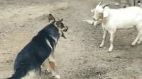 牧羊犬不保护羊群, 整天就知道跟羊打架, 主人早晚会炖了它!