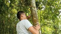 深山野林之树全身是宝, 树皮树叶都能生吃, 割一块皮能吃五六年