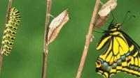 再丑的毛毛虫, 有一天也会变成蝴蝶, 蜕变过程充满了艰辛!
