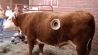 美国人养奶牛, 要在牛身上开一个大洞, 这是为什么?