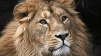 猎杀狮子才能成年? 这些人堪称狮子天敌, 专门捕杀狮子