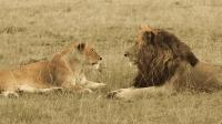 这些人曾为狮子天敌, 专门捕杀狮子, 如今一部分人投身旅游业