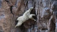 奇葩山羊轻功了得, 在悬崖峭壁上如履平地, 看完全身发麻!