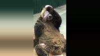 大熊猫捣蛋, 不知道把什么拆了 给自己搓澡弄得一身都是