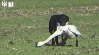 狗狗叼住一只天鹅就往主人方向跑, 鹅: 放开我! 我不要面子的啊!