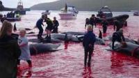 丹麦法罗群岛鲸鱼鲜血染红海湾