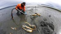 美国渔民趴在海滩上挖象拔蚌, 一管子插下去瞬间挖出一只!