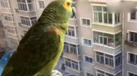 这只鹦鹉绝对成精了, 听到楼下男主人声音时激动的喊老爸!