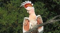 最贵的鹦鹉之一 颜值爆表 可以活70年 全球不足2万只