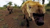 非洲二哥鬣狗vs东方神犬藏獒, 谁会更胜一筹? 鬣狗: 这玩笑开得