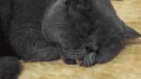 主人把猫咪的舌头拉了出来, 没想到它还舔了舔, 梦见吃东西了吧!
