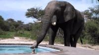 正在泳池中游泳, 乱入一只大象, 直接喝起了泳池的水