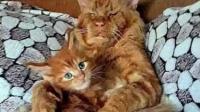 猫咪一把年纪才有小崽崽,连主人都不然抱,小气劲让家人憋着笑!