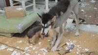 狗狗拆家时千万别打它, 它会以为你嫌它拆慢了, 你得喊加油!