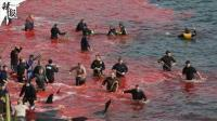 丹麦渔民捕杀180头鲸鱼 血染海湾