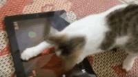 会玩切水果的猫咪