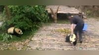 """两只小熊猫相继在""""奶爸""""面前争宠, """"奶爸""""无所适从!"""