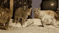 小猫咪第一次见猫爸, 双方愣住了, 接着猫爸做的这一举动笑死人