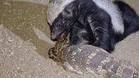 没有视频, 你可能不信: 非洲蜜獾活吃4米巨蟒, 上去就直接啃吃!