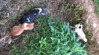 两只猫咪开心的出去玩, 偶遇一只狗狗, 这应该是传说中的单身狗吧?