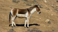 我国特有的最大野驴 敢与汽车赛跑 为我国一级重点保护动物