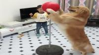 金毛犬皮蛋饭后练习打拳击, 把身后的小主人都吓住了