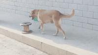 成精的狗狗见多了, 爱坐凳子的狗还是第一次见, 太搞笑了