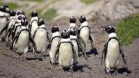 它们是生活在非洲的企鹅 不会被热死吗? 曾有150万只