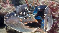 巨大威武龙虾身披尖刺铠甲, 却因肉质堪比小龙虾被捕杀